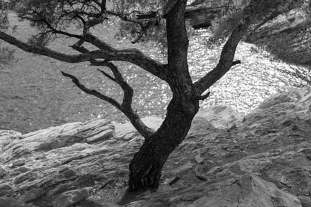 Mediterranean Tree · Between Niolon and Méjean · Near Marseille · 2011