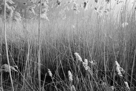 Reedy  · Jardin des Personnalités · Honfleur · Normandie · 2014