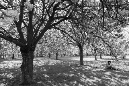 Cherry Blossom Time · Parc de Sceaux · 2015