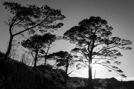 Scots Pines · Loch Maree · Scotland · 2017