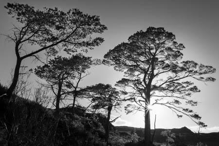 Scots Pines · Scotland · 2017