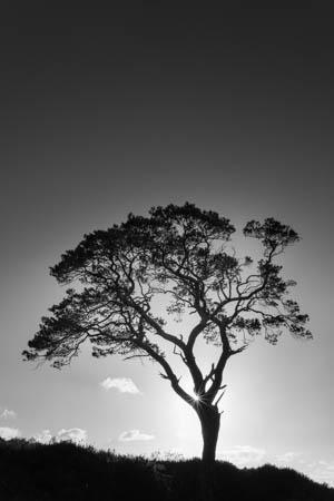 Portrait of a Tree · Loch Maree · Scotland · 2017